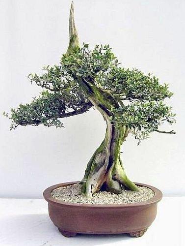 Olivenbaum Bonsai - Olea europaea ssp africana - wilde Olive - 5 Samen