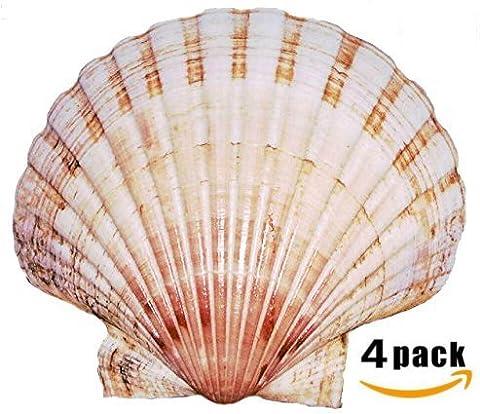 King Size Scallop Shells (4 x Super Large 14-16cm+ sized Scallops Shells)
