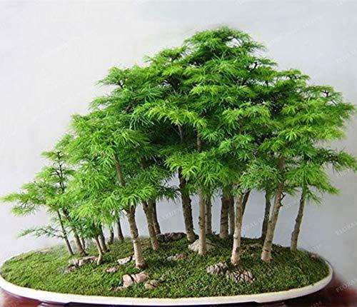 Bloom Green Co. 100% Echte japanische Mini Maple Bonsai-Baum Günstige Bonsai 20PCS / Pack, sehr schöne Indoor Baumgarten-Anlagen
