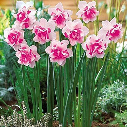 Tomasa Samenhaus- 100Stk Selten Narzissen Samen Bunt,mehrjährig Blumensamen glocken Blumen Saatgut winterhart Blumenzwiebeln für Barkon, Garten