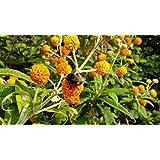 Naranja bola árbol Buddleja Globosa Plant en una olla 8cm con aroma de verano con flores plantas tolerantes a la sequía para las abejas y mariposas