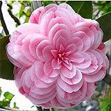 Yukio Samenhaus - 10 Stück Blumensamen Kamelie Camellia japonica frosthärt mehrjährig, geeignet für Ihr Garten-Terasse-Balkon