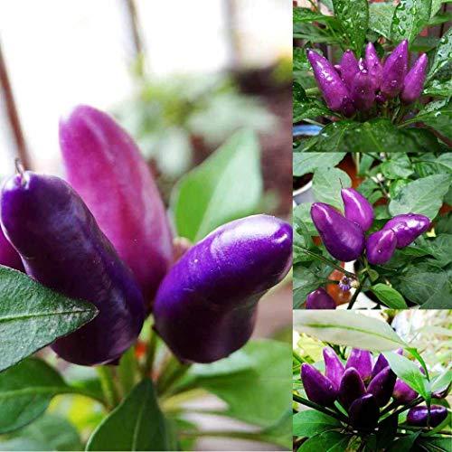 Lila Chili Samen mittelscharfe Chili in Bioqualität 50 teile/beutel Lila Chili Samen Garten Ornament Essbare Pfeffer Bonsai Gemüse Gemüse