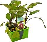 Gemüse-Jungpflanze 'Kohlrabi blau' im 6er Pack für den heimischen Gemüsegarten.