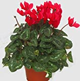 Alpenveilchen rot - Cyclamen persicum - Zimmerpflanze blühend - Balkonpflanze, Garten- Pflanze im 11 cm Topf