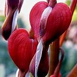 lichtnelke - Tränendes Herz (Dicentra spectabilis) Valentine