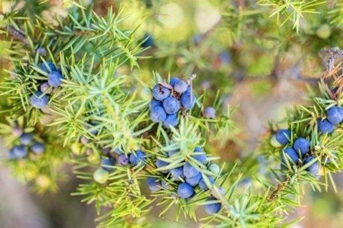 rp-seeds-juniperus-communis-common-juniper-30-seeds