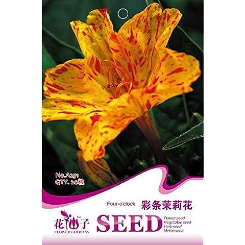 Las semillas del jazmín de color, grano 20 / flores hermosas envueltos perenne Jazmín púrpura, jardinería exterior casa