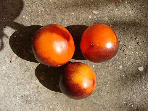 NEW VERIETY 2015/16 INDIGO Apple, stunning tomato! 20 graines