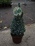 Blaue Zuckerhutfichte Blue Wonder® - Picea glauca Blue Wonder® 40-50cm