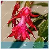 ZLKING 10pcs Zygocactus Truncatus Blumensamen Schlumbergera Bonsai chinesische Samen Seltene Staudenblumensamen für Hausgarten-Rot