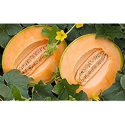 PLAT FIRM GERMINATIONSAMEN: 1000 Samen oder 1 OZ: Cantaloupe Seeds Delicious 51 Melon, NON-GMO, Variety Größen, freies Verschiffen