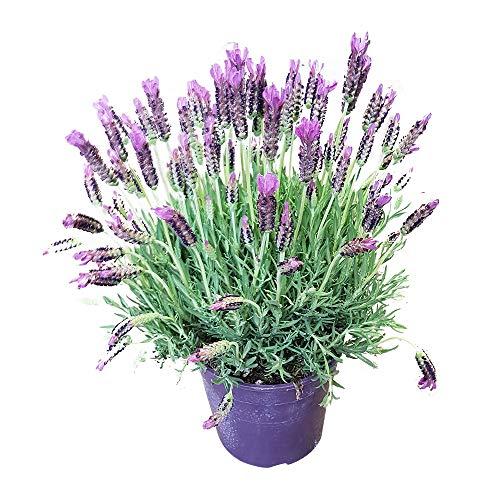 Frischer Schopflavendel - kräftige Lavendel-Pflanze vom Gärtner - Schmetterlings-Lavendel | kräftige Lavendelpflanze, Anzahl:1 Stück (Lavendel-pflanzen-topf)