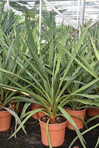 Palmenmann Yucca (Palmlilie) faxoniana - Yucca faxoniana