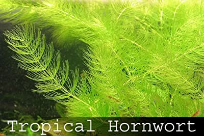 Fastest Growing Aquarium Plant [Hornwort] 8X Live Aquarium Floating Plants