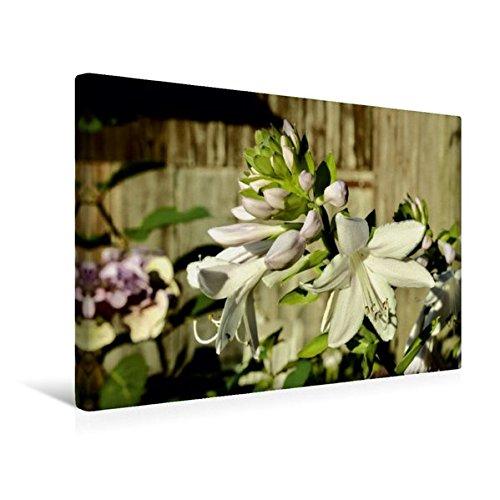 Premium Textile Toile de 45cm x 30cm paysage Parfum Hosta 'Fragrant Bouquet', 45x30 cm por Jutta Heußlein