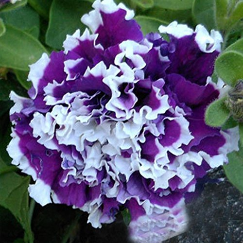 Qulista Samenhaus - 200pcs Selten Hänge-Petunien 'Viva' Prachtmix Blumensamen Mischung winterhart mehrjährig, geeignet für Blumenkästen & Ampeln & Töpfe