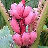 Fash Lady Bananen Baum Obst Samen Seltene Mini Bonsai Rosa Banana Samen Musa Velutina Sementes da Fruta Garten Decor