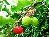 Acerola Malpighia glabra Acerolakirsche Barbados-Kirsche Pflanze 10cm Rarität