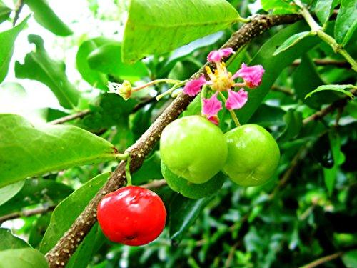 Acerola Malpighia glabra Acerolakirsche Barbados-Kirsche Pflanze 5-10cm Rarität
