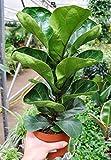 Palmenmann Ficus (Geigenfeige) Bambino - Ficus lyrata Bambino