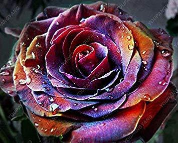 100pcs 20 sortes de graines Rose So Black Rose Charme Bonsai Graines de fleurs vivaces rares fleurs des plantes pour la maison Chocolat Jardin