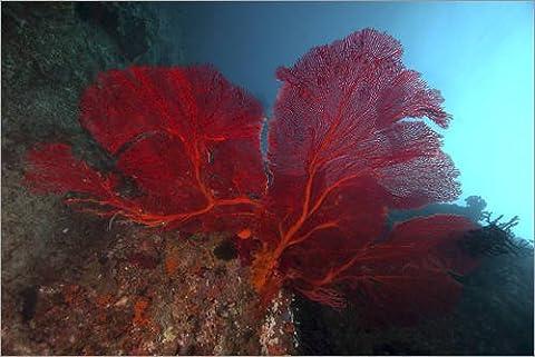 Poster 120 x 80 cm: A large red gorgonian sea fan, Beqa Lagoon, Fiji. de Stocktrek Images - reproduction haut de gamme, nouveau poster