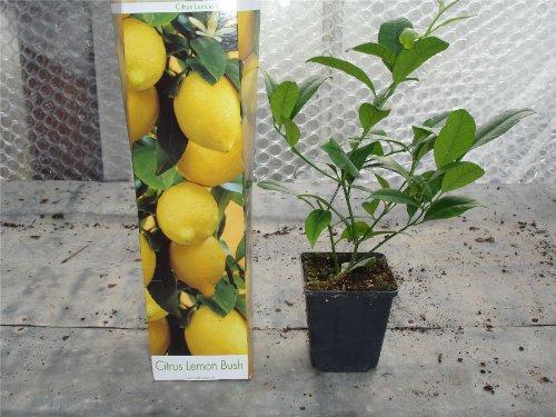 lemon-tree-citrus-limon-in-a-9cm-pot