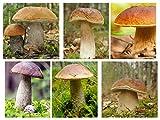 Laubbäume Pilz-Set - 6 Arten - Myzel - samen