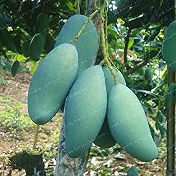 Mango Bonsai Köstlicher Frucht Bonsai Mangifera Indica Perennial Indoor Subtropocics für Hausgarten-Topfpflanze Easy Grow 2 PC: 3