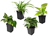 Rolling Nature Spider Plant, Money Plant, Golden Pothos, Syngonium Green Combo of Air Purifying Plants in Black Hexa Pot