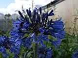 Agapanthus Blue Magic
