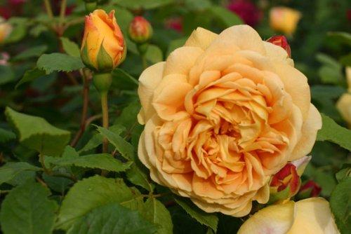 Golden Celebration® - Container Rose im 5 ltr. Topf