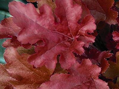 """Heuchera - Purpurglöckchen """"Red Fury"""" - in Gärtnerqualität von Blumen Eber von Blumen Eber auf Du und dein Garten"""