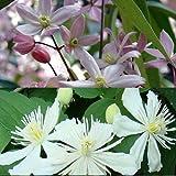 2 Clematis Kletterpflanzen: Clematis Apple Blossom (immergrün) & Clematis Summer Snow - Weiß & Rosa - Immergrün und Winterhart - 1,5 Liter Topfen | ClematisOnline Kletterpflanzen