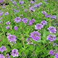 Eisenkraut Verbene ( Verbena MURIEL ) von Lichtnelke Pflanzenversand bei Du und dein Garten
