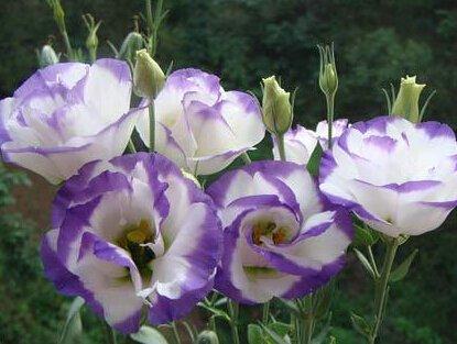 graines 20seeds commun Snowdrop fleurs beau jardin Congélation plantes Bonsai balcon de fleurs