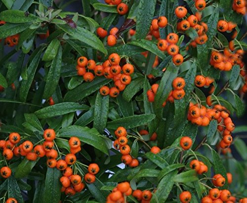 1-pianta-pyracantha-navaho-vaso-18cm-sempreverdi-e-rampicanti