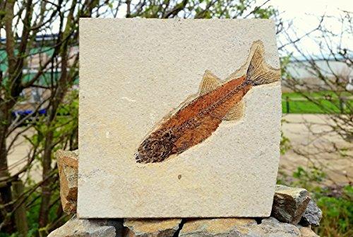 genuine-fossil-fish-knightia-alta-a-grade-fs9411