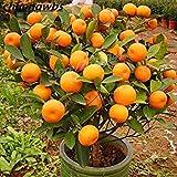 20pcs / Sac Orange Graines Accrobranches Orange Graines de Fruits Bio Graines comme Arbre de Noël en Pot pour Jardin Plante...