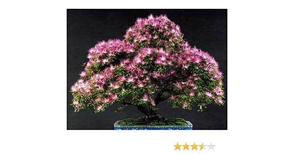 Albizia julibrissin 25 graines fraîches d/'Arbre à soie Silk Tree seeds