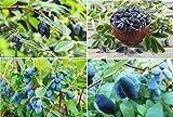 15x Heckenkirsche Garten Essbar Obst Blau Pflanze essbar Garten Samen frisch Saatgut lecker #346