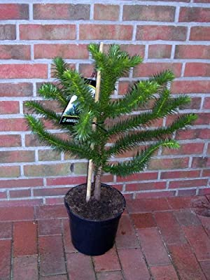 Araucaria araucana, Höhe: 85-90 cm, Affenbaum, Affenschaukel, Andentanne, winterharte Pflanze !