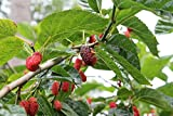 Rote Maulbeere Morus rubra Pflanze 25-30cm Maulbeerbaum Obstbaum Obstpflanze