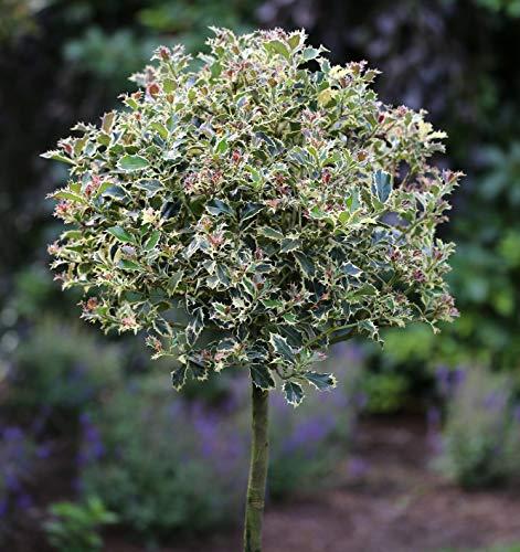 Hochstamm Stechpalme Red Tips 60-80cm - Ilex aquifolium