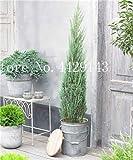 IDEA HIGH Samen-Garten Topfpflanze 30 Stück seltene blaue Zypresse Bonsai-Baum, Bonsai für Blumentopf Pflanzgefäße: 12