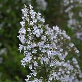 Steinquendel, Calamintha nepeta weiß