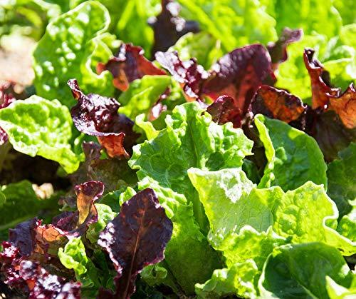 Bobby-Seeds BIO-Salatsamen Baby Leaf Portion