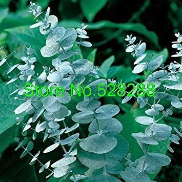 Bonsai 25+ Stück/Packung Eucalyptus cinerea Silver Dollar Perennial Aromatische Garten Dekoration Bonsai Blume