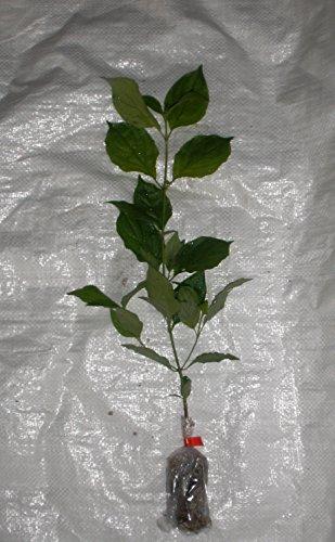 european-common-hazelnut-european-filbert-corylus-avellana-plug-plant-x-3